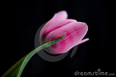 Dark Pink Tulip Stock Photos - Image: 24151893