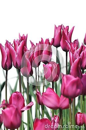 Dark pink tulip flowers