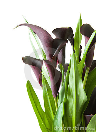 Dark purple (black) calla lily plant