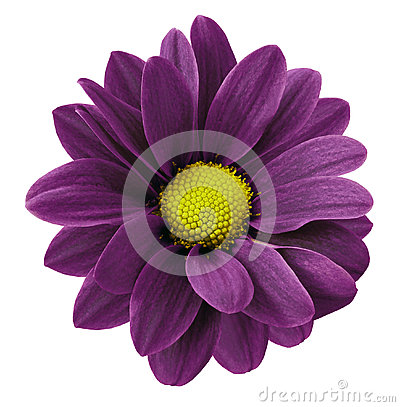 Free Dark Purple Gerbera Flower.  White Isolated Background With Clipping Path.   Closeup.  No Shadows.  For Design. Stock Photos - 92549563