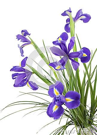 Dark purple iris flowers