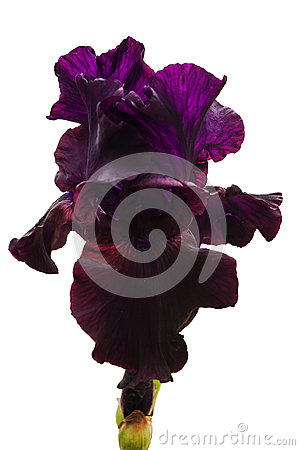 Free Dark Red And Purple Iris Flower With Lush Petals And Blond Veins On A White Isolated Background Stock Photography - 97426432