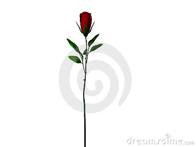 Dark Red Long Stem Rose