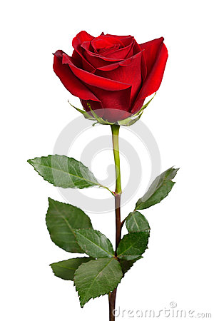 Free Dark Red Rose Stock Images - 43642114