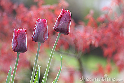 Dark red tulips in the garden