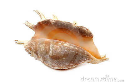 Dark Seashell