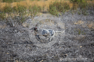 Dark setter running over burnt ground