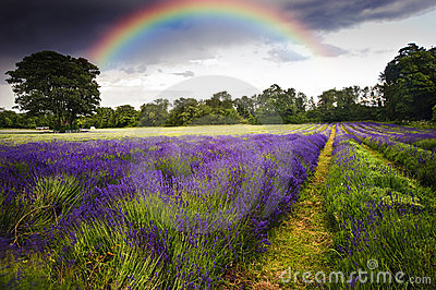 Dark storm clouds over lavender field