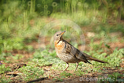 Dark-throated Thrush