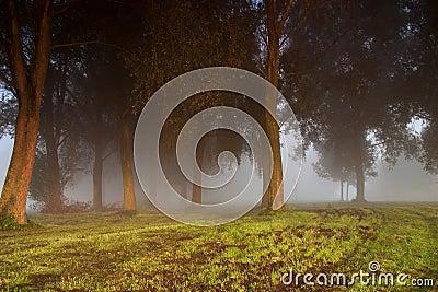 Dark trees in the fog