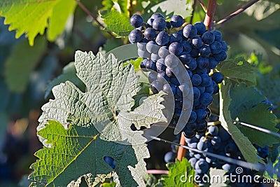 Dark wine grapes