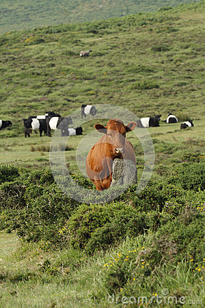 Free Dartmoor Cattle Royalty Free Stock Photo - 44722395