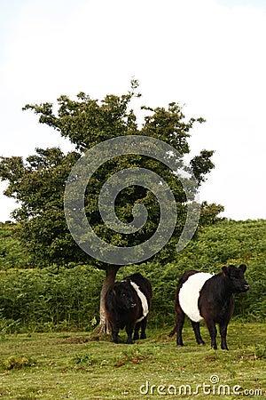 Free Dartmoor Cattle Stock Image - 45212771