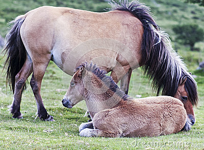 A Dartmoor Pony Mare and Foal, Devon, England