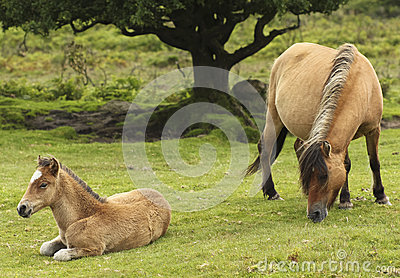 A Dartmoor Pony Mare and Foal, Devon, England