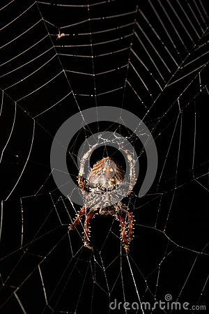 Free Darwin`s Bark Spider Caerostris Darwini Madagascar Royalty Free Stock Photo - 82909965