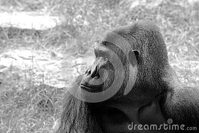Das männliche Porträt des Gorillas. B&W