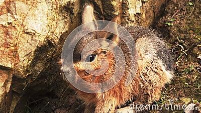 Das Patagonian Mara ist Kaninchen Ähnliches Tier von Argentinien stock video footage