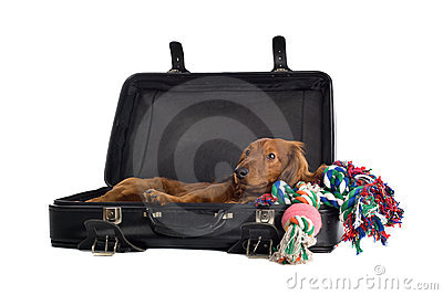 Daschund lying in suitcase