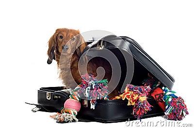 Daschund with suitcase