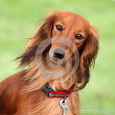 Dashund dog in a garden