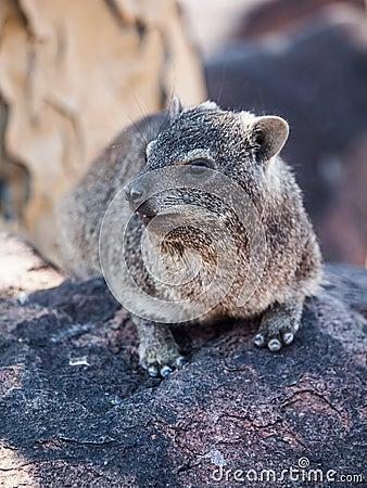 Free Dassie Rat (Petromus Typicus) Stock Images - 35054044