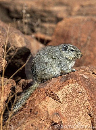 Free Dassie Rat (Petromys Typicus) - Namibia Stock Photo - 14149790