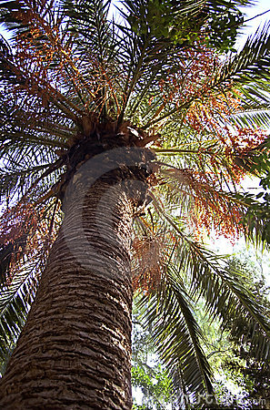 Free Date Palm Stock Photography - 201762