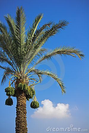 Free Date-palm Royalty Free Stock Images - 20528179