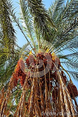 Date palm.