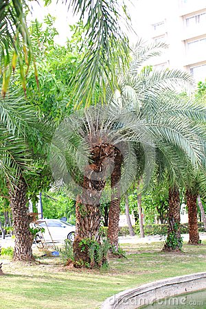 Free Date Palm Royalty Free Stock Photo - 56252065