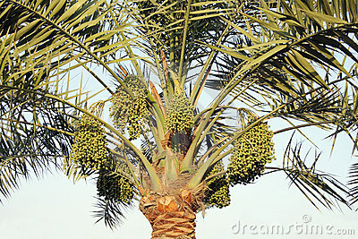 Date palm and green dates