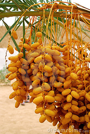 Free Date Palm Tree Royalty Free Stock Images - 19013409