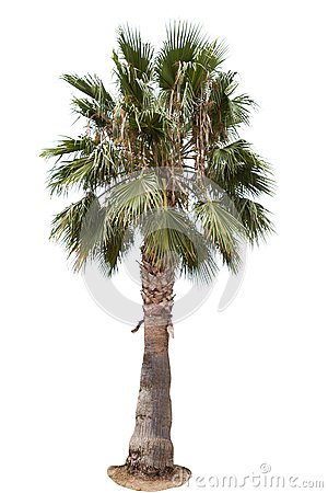Free Date Palm Tree Royalty Free Stock Images - 55852709