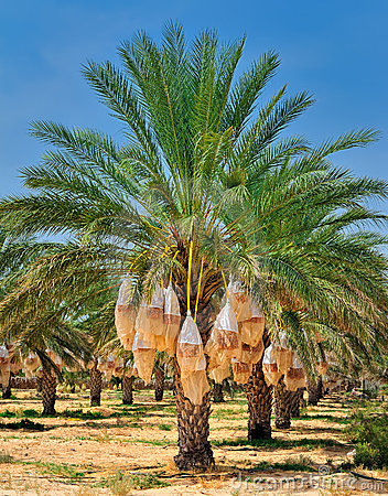date palm tree fruit. DATE PALM TREE (click image to