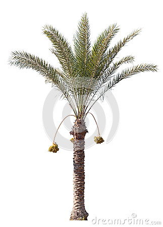 Free Date-palm Tree Isolated On White Stock Photos - 27250693