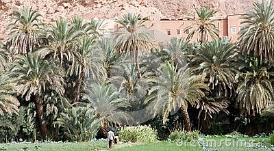 Date palm tree Plantation Editorial Image