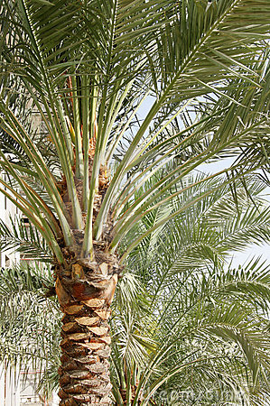 palm dates tree. pictures date palm tree in