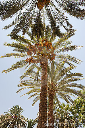 Free Date Palm Trees Stock Photography - 21482512