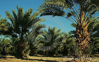 Date Palm Trees, Yuma, AZ, USA