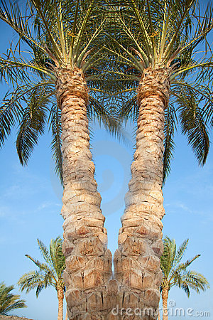 Date palms in Egypt