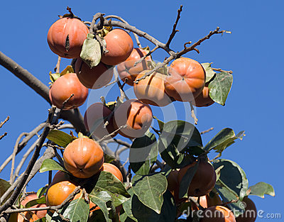 Date plum or persimmon