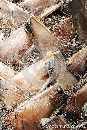 Dates palm s bark
