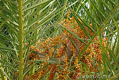 Dates in palm tree
