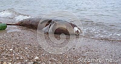 Dauphin mort dans les eaux polluées. Les déchets plastiques toxiques de la pollution de la mer banque de vidéos