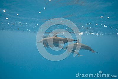 Dauphins sauvages de natation de fileur.