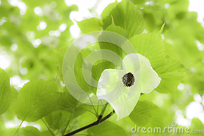 Davidia Involucrata - Commonly Handkerchief Tree