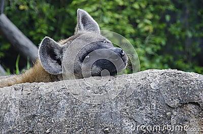 Dawn Hyena