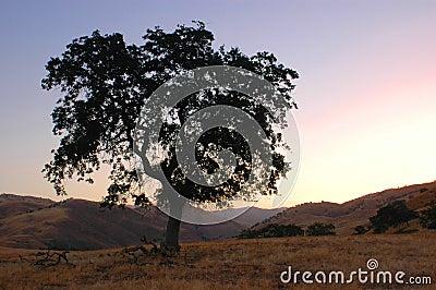 Dawn Oak Tree