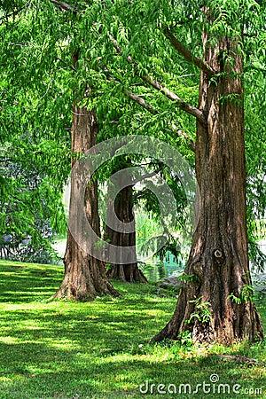 Dawn Redwood Trees